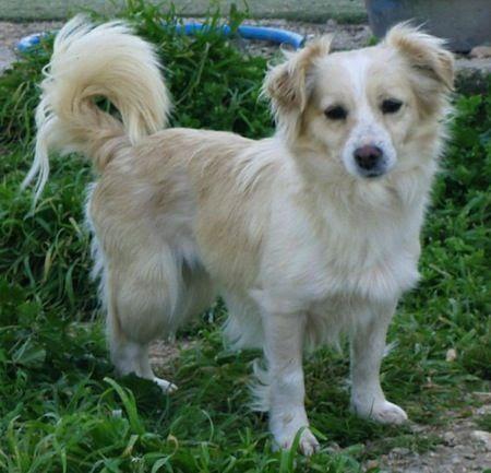 Small Greek Domestic Dogs